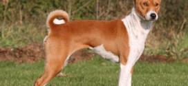 Le chien Basenji