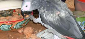 Picage chez le perroquet